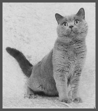 British Shorthair Cats of the Maou Cattery